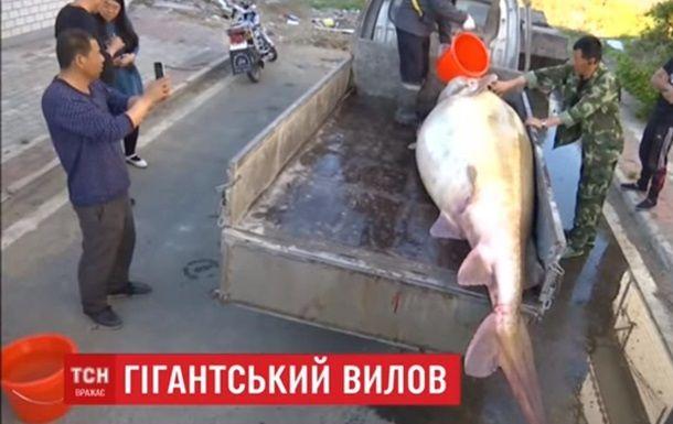 В Китае рыбак поймал гигантскую рыбу калугу - ВИДЕО