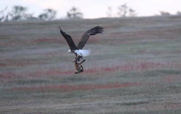 В США сняли на видео схватку орлана и лисы - ВИДЕО