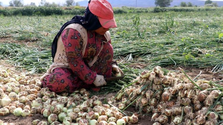 Oluzlu Tarım İşletmesi Başkanı Çelik: Kuru soğan fiyatları birkaç güne normale dönecek