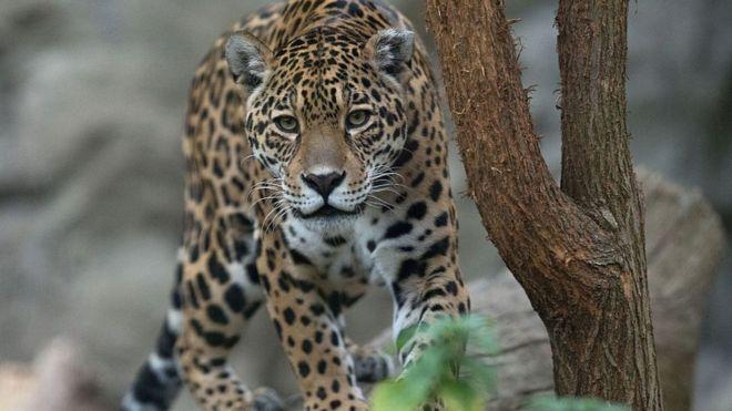 В зоопарке Нового Орлеана ягуар сбежал из клетки и задрал шесть животных