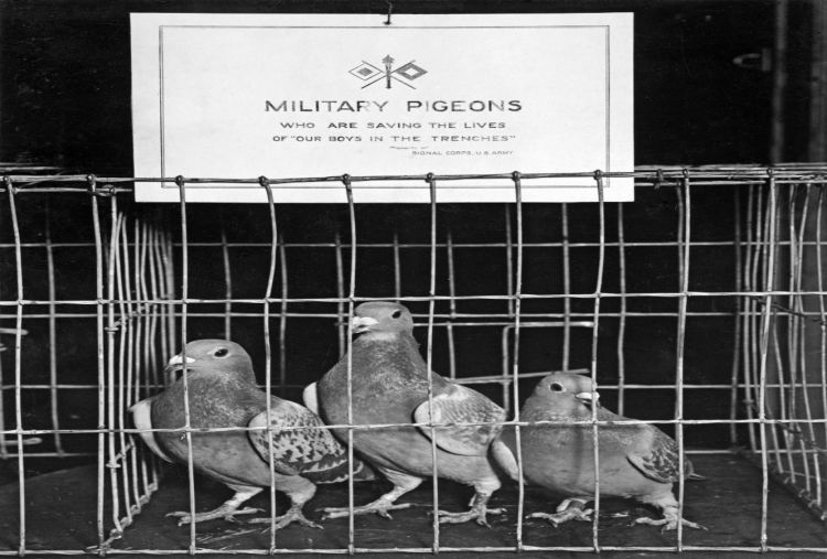 In the era of electronic warfare, bring back pigeons