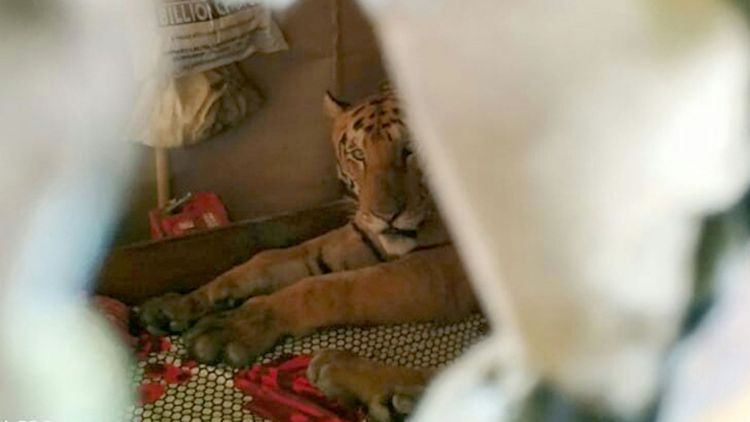 Tiger takes cat nap inside home while fleeing fatal floods in India - VIDEO