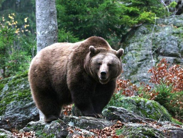 Французского композитора съел канадский медведь гризли